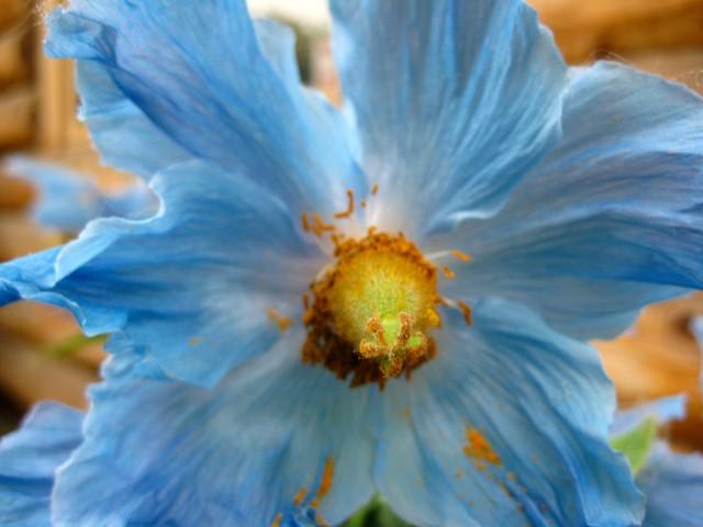 Blue Poppy - Meconopsis betonicifolia