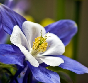 Columbine Flower  (c) Harold Blum