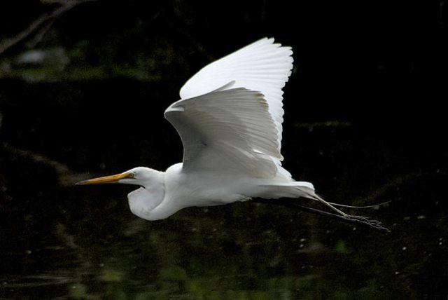 Image from http://www.jrcompton.com/photos/The_Birds/herons/Herons-v-egrets.html