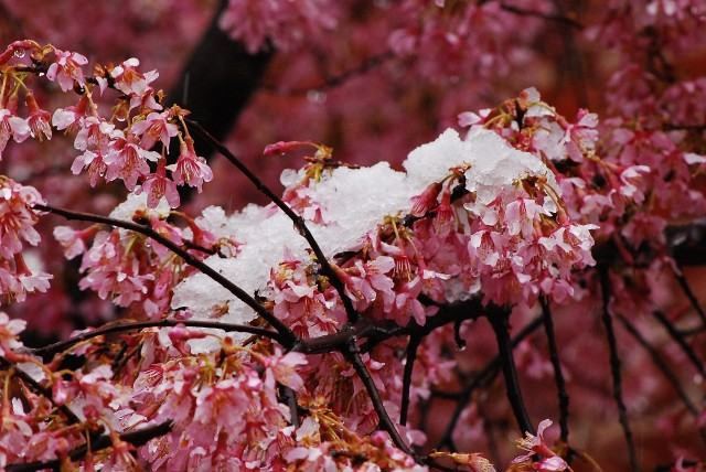 Cherry Blossoms in the Snow (c) Tim Dicke