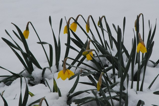 Demure daffodils awaiting the melt. (c) Tim Dicke, Patterson Park, Baltimore, Maryland