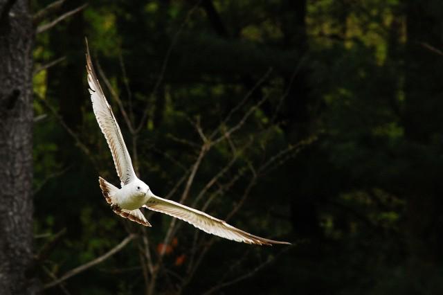 Seagull (c) Tim Dicke