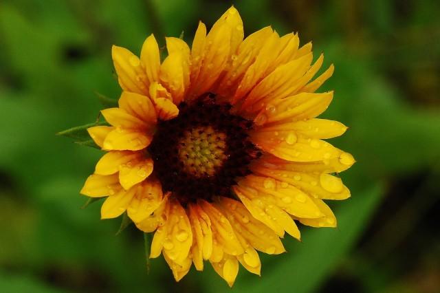 TimDickeSunflower