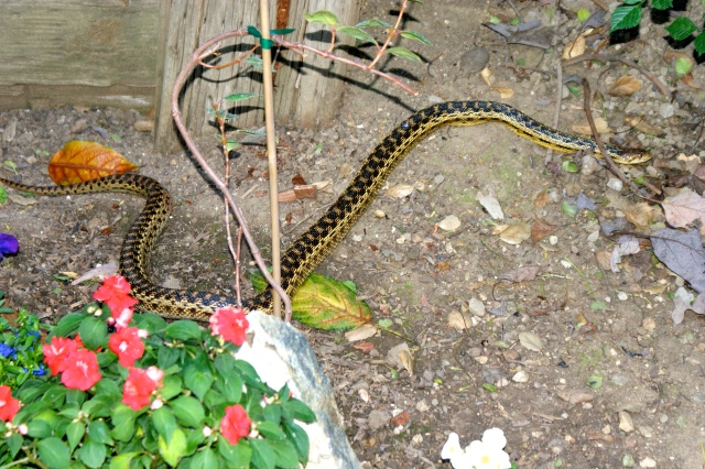 (c) Smoky Zeidel - Gopher Snake