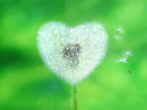 Heart shaped dandelion