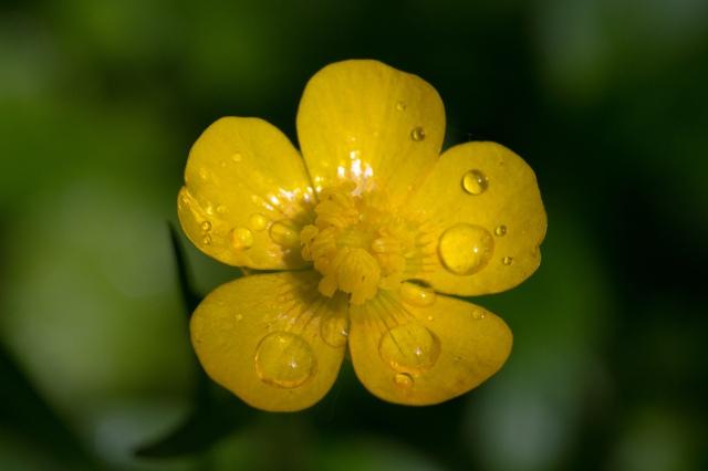 Ranunculus_macro